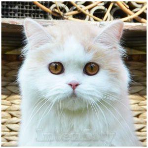 шотландская кошка, scottish straight longhair