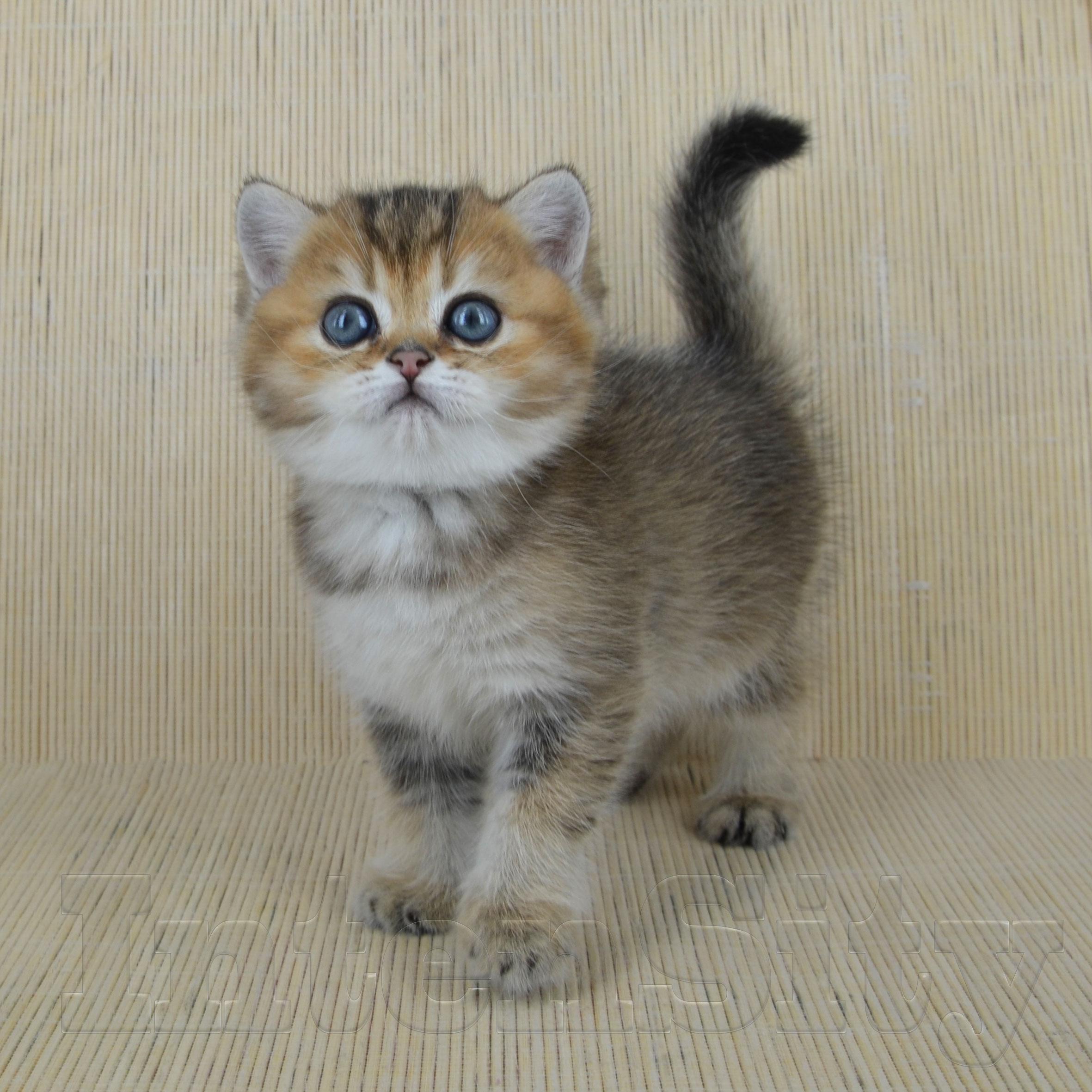 golden kittens, ny 25 СПб, британская шиншилла