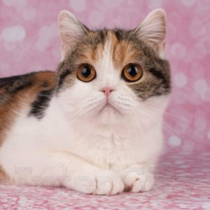 Scottish Straight Shorthair