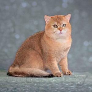 Bri ny 25, British kittens, британские котята, британские золотые шиншиллы, котята британцы