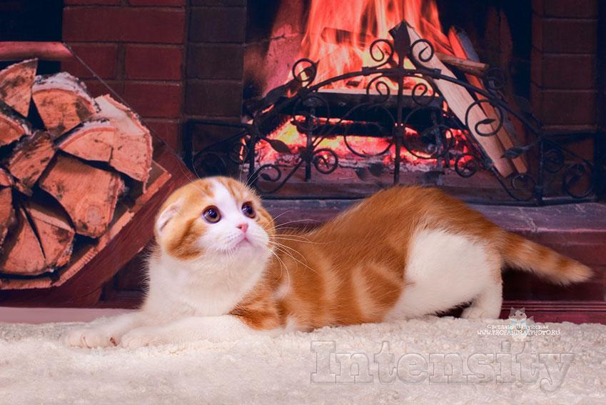 scottish fold, Scottish fold kitten, scottish SPb