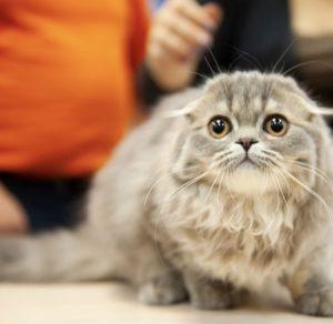 голубой плюшевый котенок спб, британский голубой котеной купить спб, котенок с плюшевой шубкой, купить котенка спб