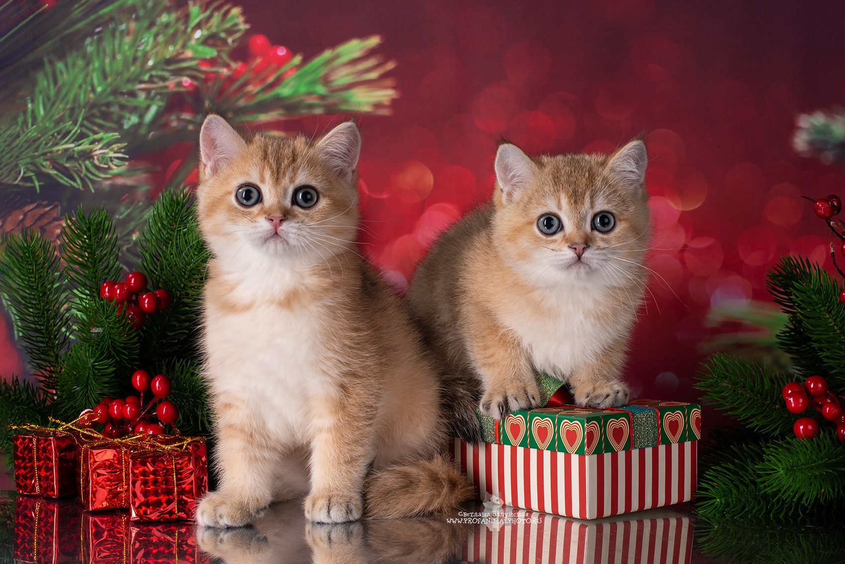 золотые шотландские котята спб, котята золотой шиншиллы, золотистая шиншилла спб, золотая шиншилла котята купить спб
