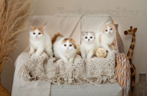 шотландские котята спб, питомник кошек спб, питомник шотландских спб, котята из питомника спб