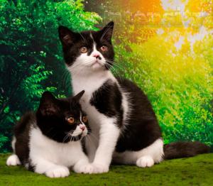 котята из питомника спб, чистокровные шотландские котята, питомник кошек спб