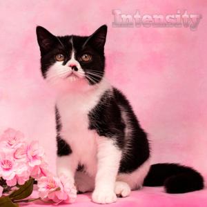 шотландская прямоухая спб, шотландские котята спб, питомник кошек спб, питомник шотландских кошек рядом